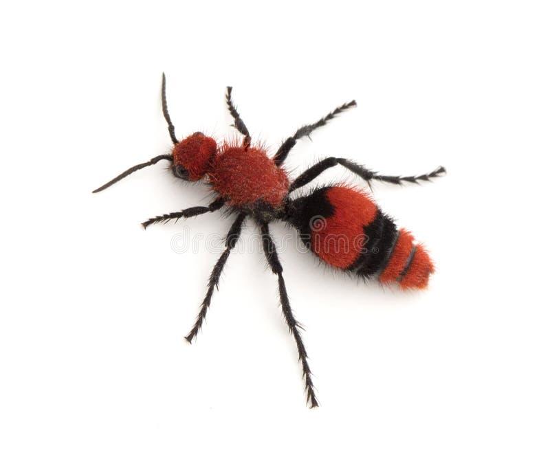 Terciopelo femenino Ant Wingless Wasp imágenes de archivo libres de regalías