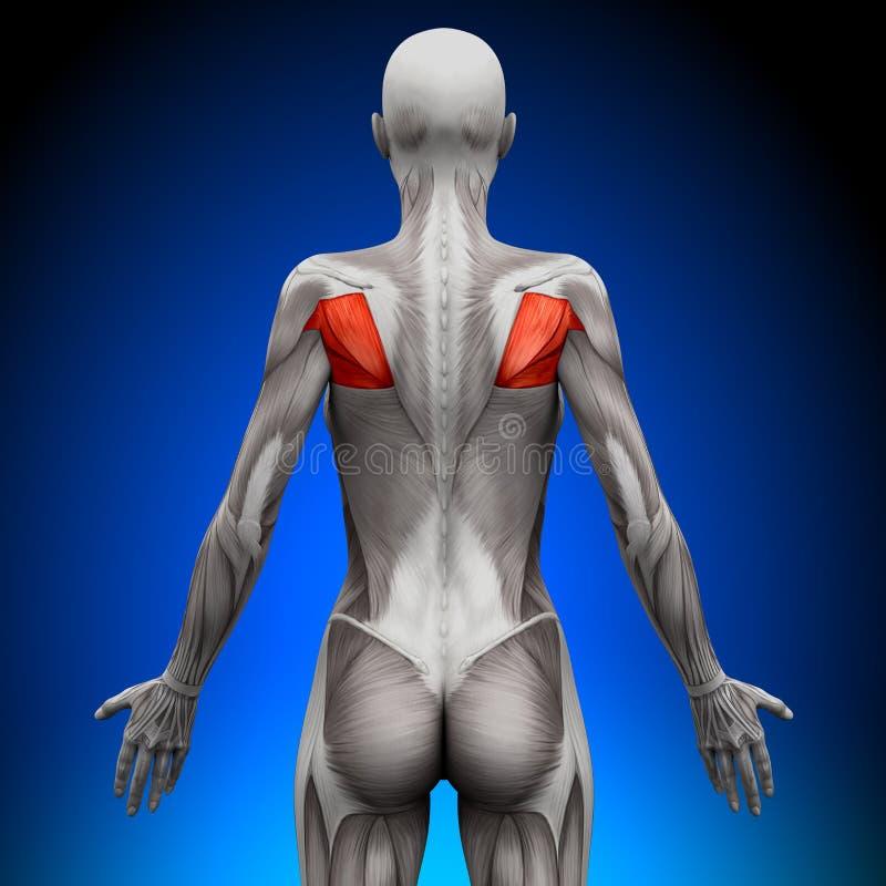 Teres -女性解剖学肌肉 库存例证