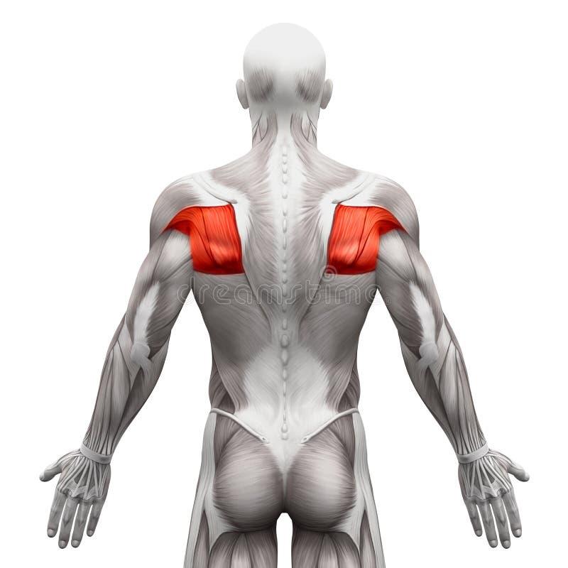 Teres Muscles - мышцы анатомии изолированные на бело- illustrat 3D иллюстрация штока