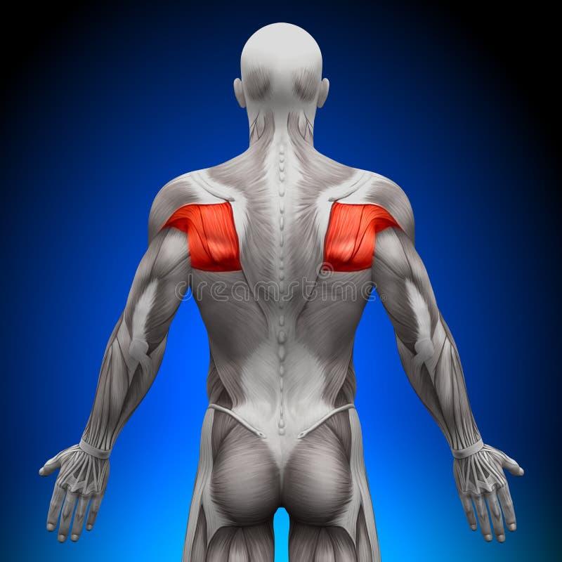 Teres - muscoli di anatomia illustrazione vettoriale