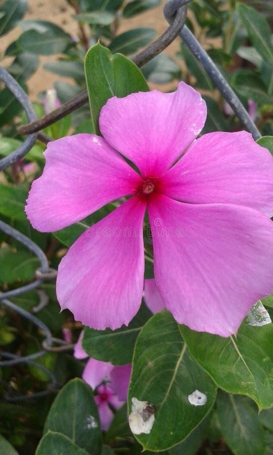 Teresita Flower rosada imagen de archivo