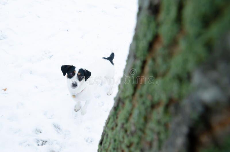 terier jack Russell Chodzić outdoors w zimie piękny zbliżenie portret obrazy stock