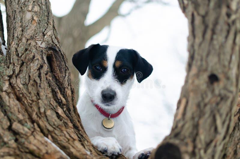 terier jack Russell Chodzić outdoors w zimie piękny zbliżenie portret zdjęcie stock