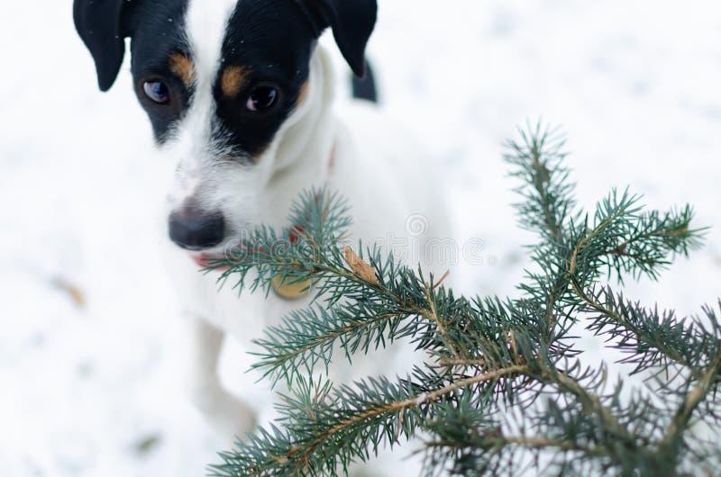 terier jack Russell Chodzić outdoors w zimie piękny zbliżenie portret zdjęcia stock