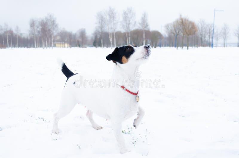 terier jack Russell E Chodzić outdoors w zimie zdjęcie royalty free