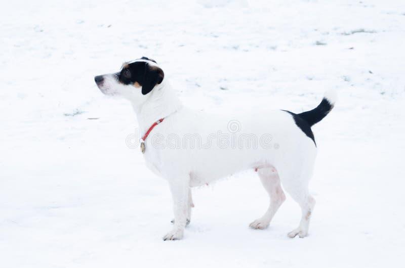 terier jack Russell E Chodzić outdoors w zimie obrazy stock