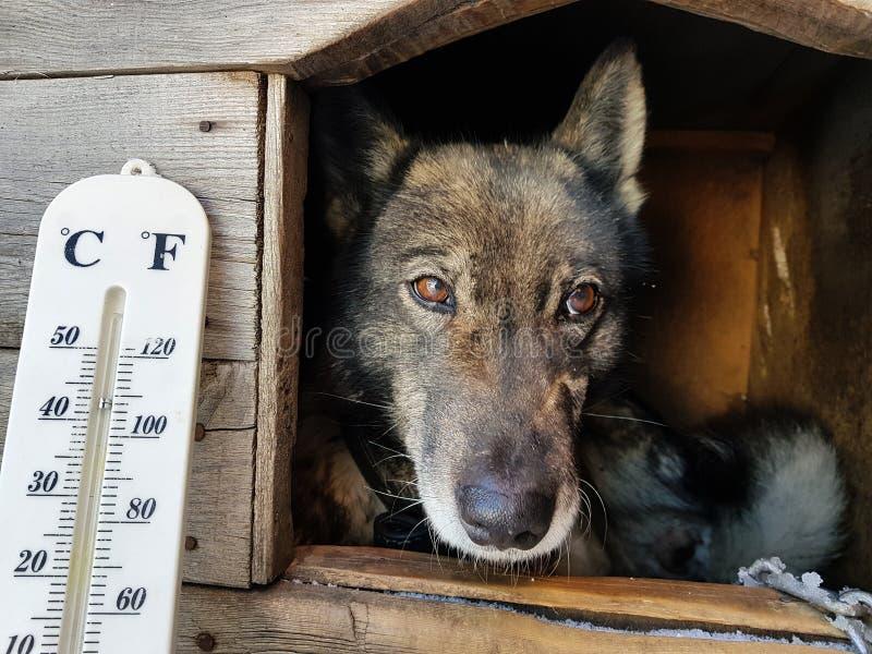 Termómetro de la calle con una temperatura de Celsius y de Fahrenheit y una raza Laika del perro en una caseta de perro fotografía de archivo libre de regalías