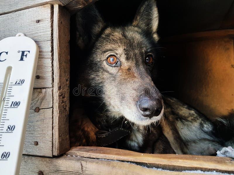 Termómetro de la calle con una temperatura de Celsius y de Fahrenheit y una raza Laika del perro en una caseta de perro imagenes de archivo
