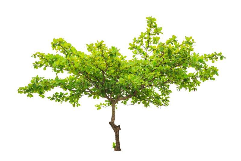 Terminalia-catappa alias tropische Mandel lizenzfreie stockbilder