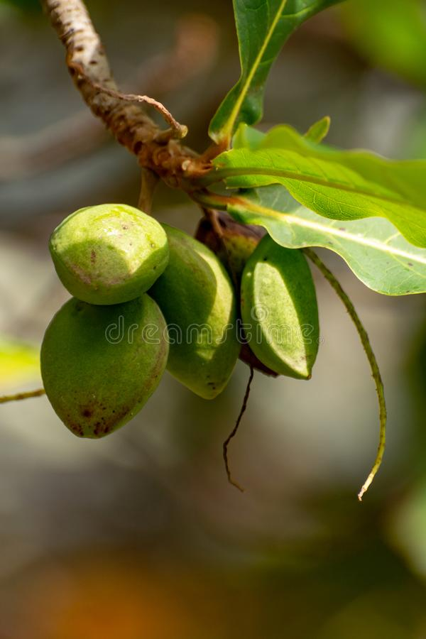 Terminalia catappa lub indyjski migdałowy drzewo także znać, gdy tropikalny migdał uwalnia z dokrętkami zamkniętymi w górę fotografia royalty free