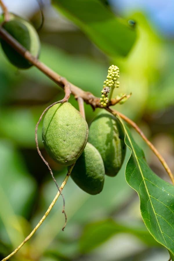 Terminalia catappa lub indyjski migdałowy drzewo także znać, gdy tropikalny migdał uwalnia z dokrętkami zamkniętymi w górę obraz stock