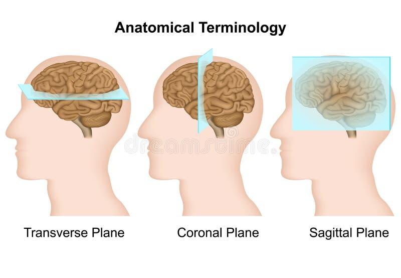 Terminologie anatomique, illustration médicale de vecteur d'avions anatomiques illustration libre de droits