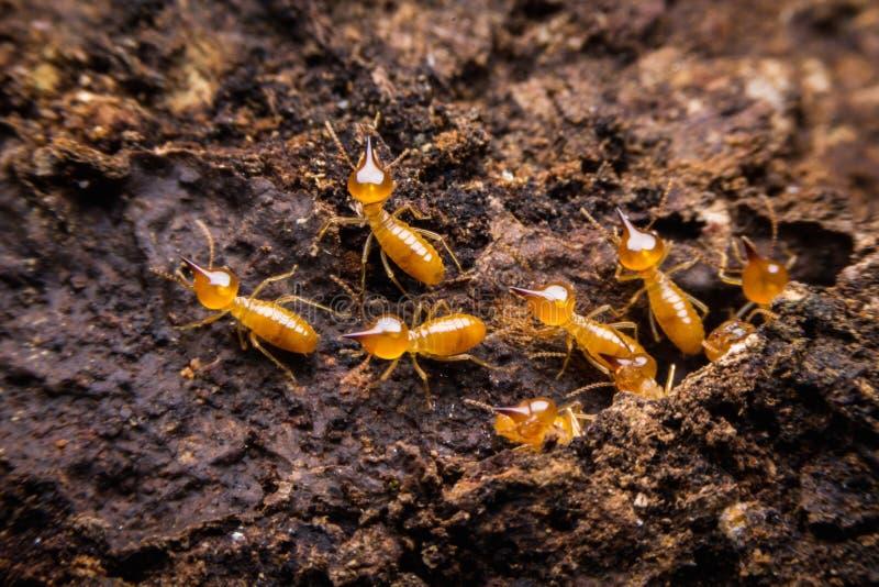 termit fotografia stock