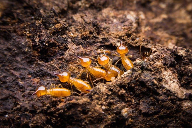 termit zdjęcie stock