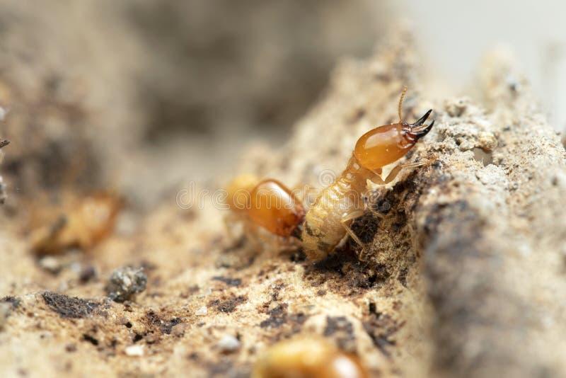 Termit i termitkulle fotografering för bildbyråer