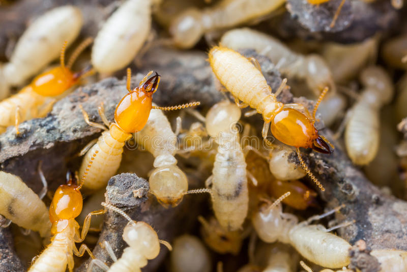 Termit lub białe mrówki zdjęcia stock