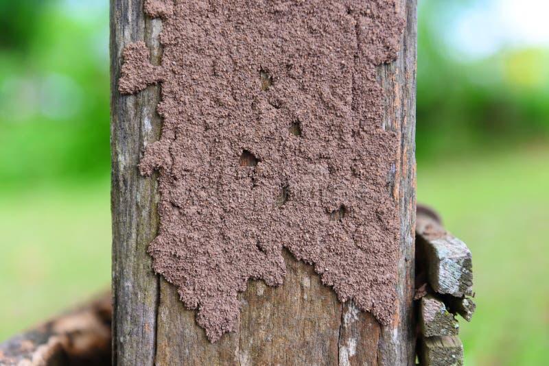 Termit på stubben - termitrede på en trästolpe skadlig av krypdjuret fotografering för bildbyråer