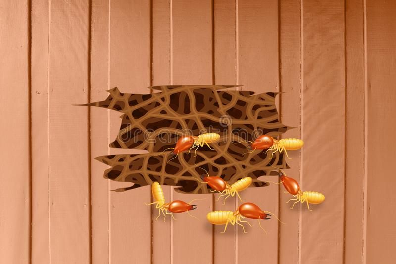 Termitas, jerarquía de la termita en la pared de madera, termita de la jerarquía de la madriguera y decaimiento de madera, madera stock de ilustración
