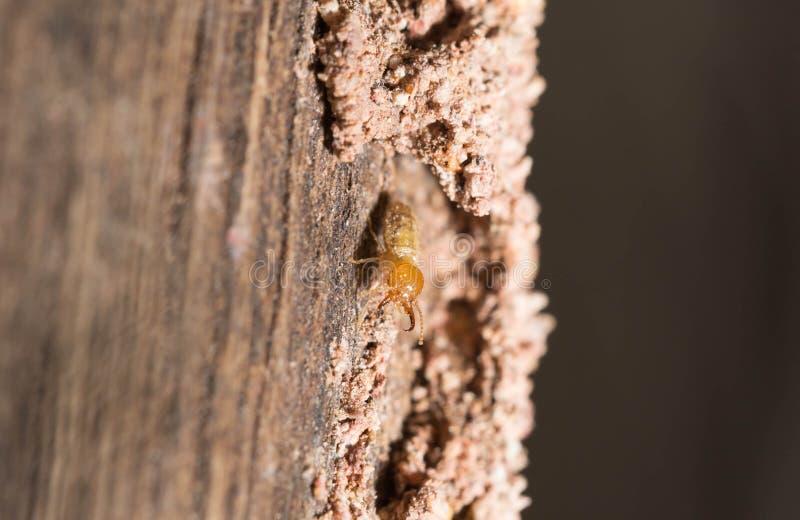 termite fotografia stock