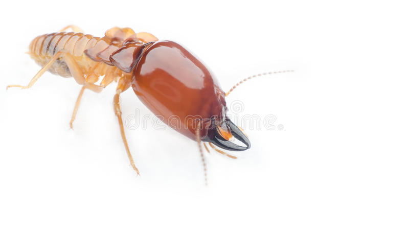 termite photographie stock libre de droits