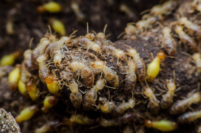 termite image libre de droits