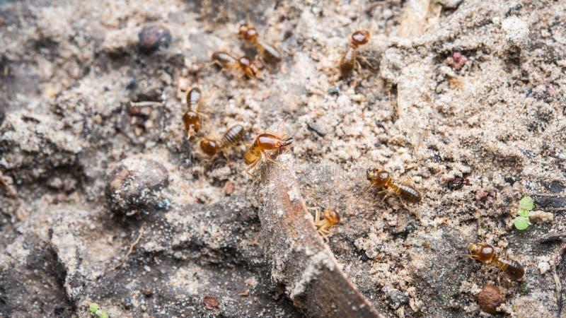 termite photographie stock