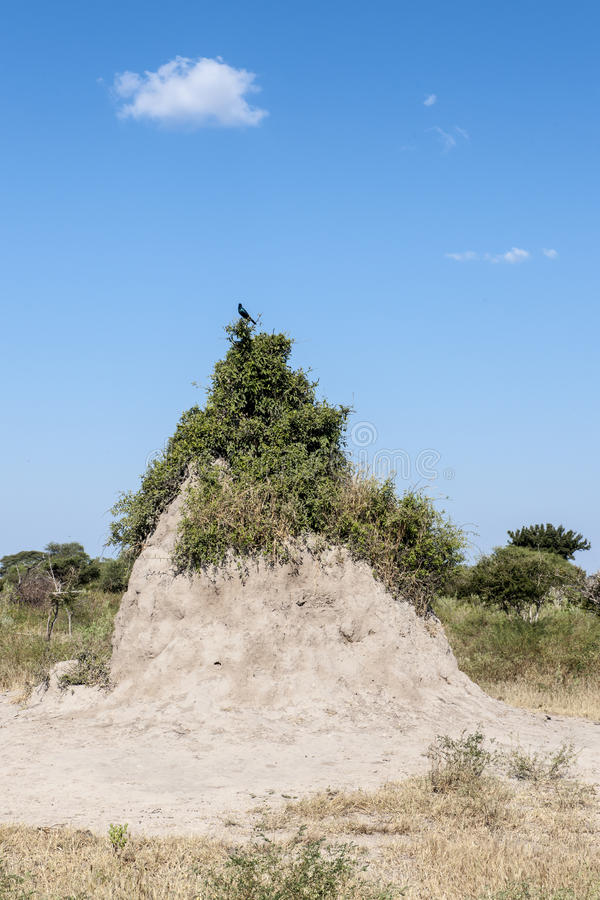 Termite hill in Africa stock images