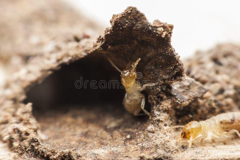 Termite macro. stock photos