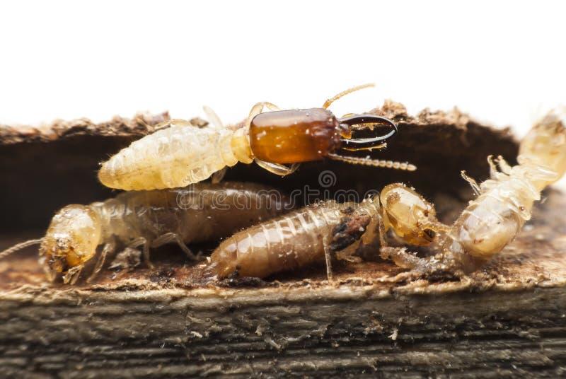 Termite macro. stock photography