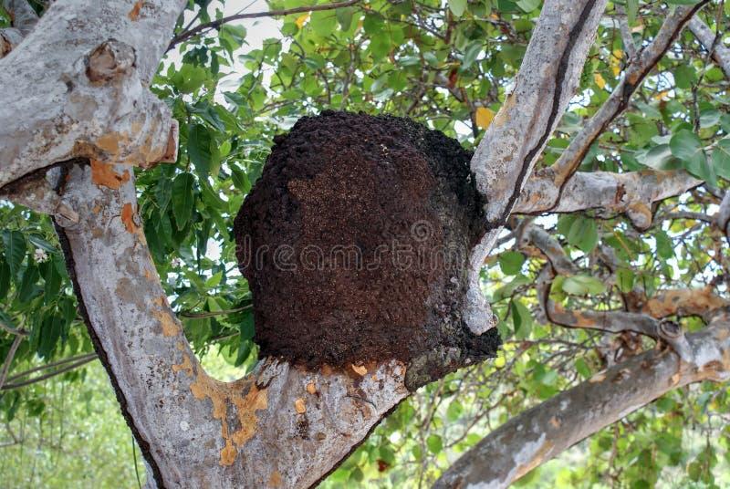 Termite nest on tropical tree stock photos