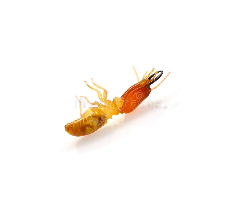 Termite stock photos