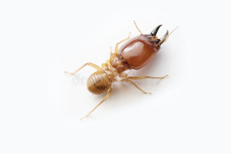 Termite on white background in Thailand. royalty free stock photos