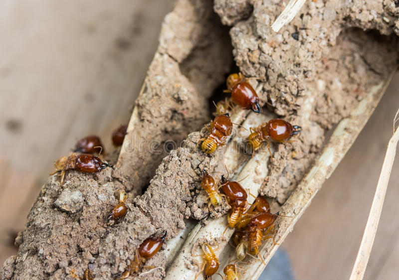 Termiten nisten im Bauholz lizenzfreie stockfotos
