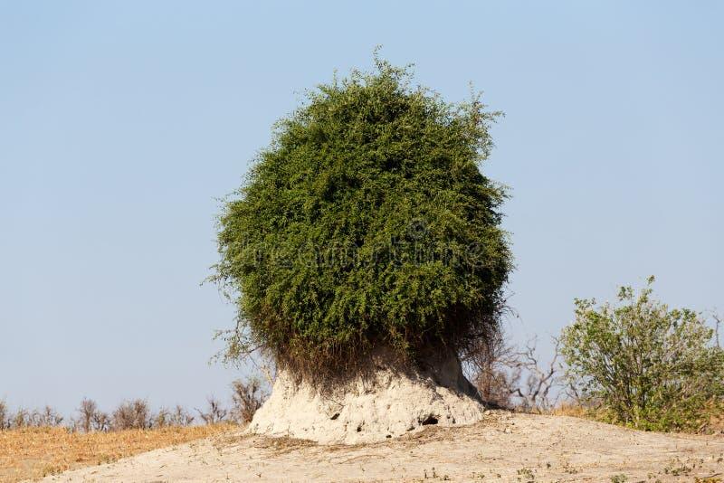 Termitenhügel überwältigt mit grünem Busch stockbild