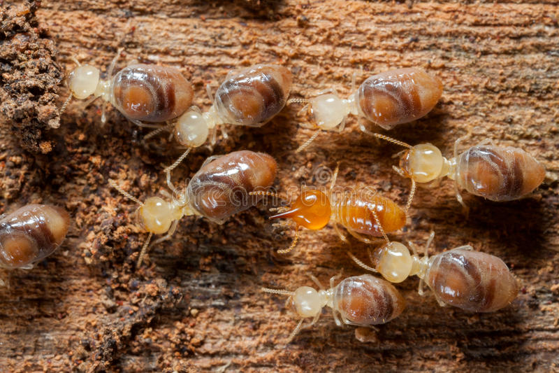 Termiteninsekten in der Kolonie stockbild