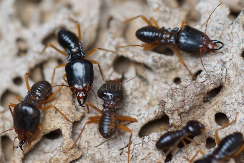 Termiter som förstör trä från marken royaltyfri foto