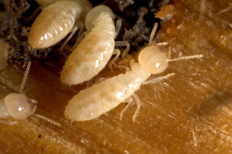 Termites Royalty Free Stock Images