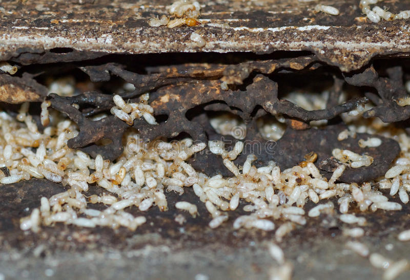 Termites. Destroying wood from the ground / Termite problem in house concept royalty free stock photos