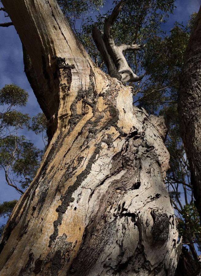 Termites determine survival. Mighty old Angophora costata (Sydney redgum) tree lives on despite its bark being infested with termites. Their trails of chewed stock photography
