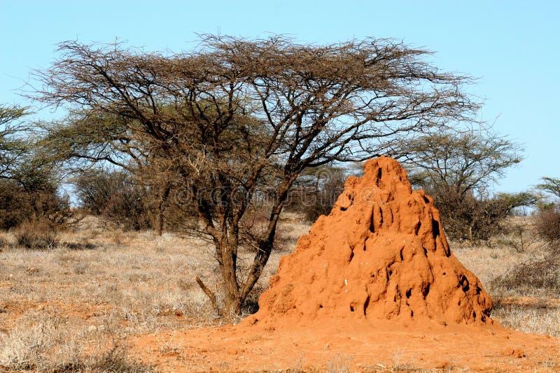 Termites house. And acacias tree in Samburu national reserve royalty free stock image