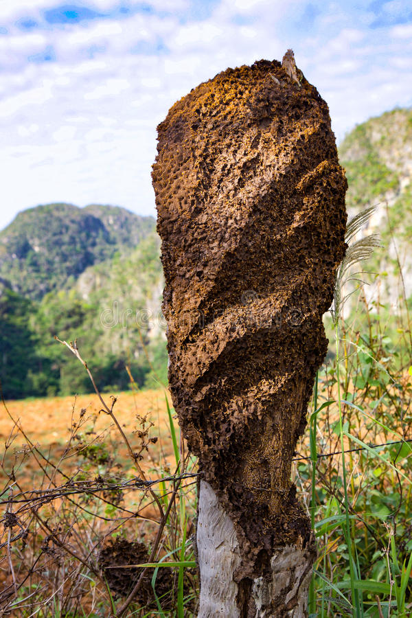 Termites house. At two hours from La Habana, a part of UNESCO heritage. Here, termites nest royalty free stock image