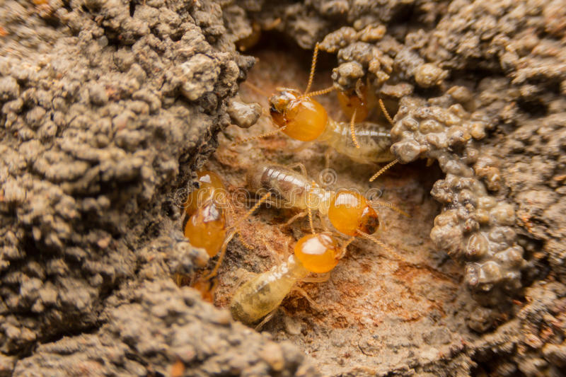 Termites nesting. Termites are nesting in the timber royalty free stock photo