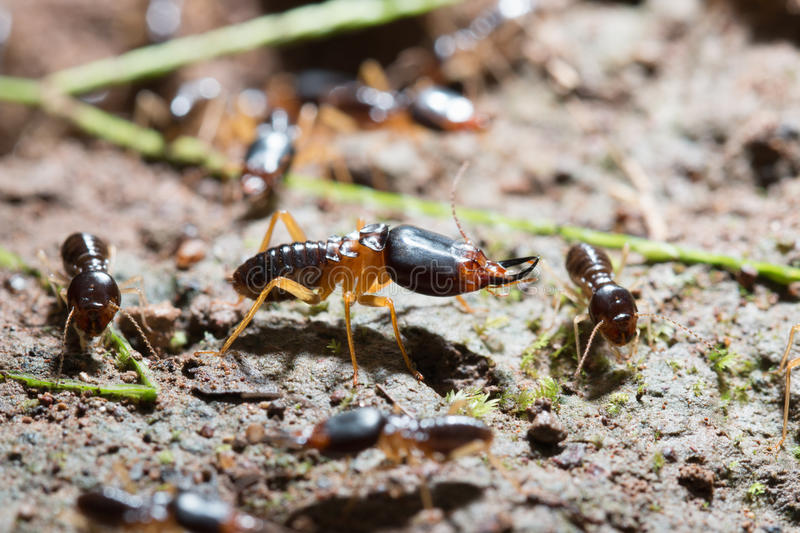 Termites. Security soldier termites with worker termites on the forest floor in Saraburi thailand. Shallow DOF royalty free stock images