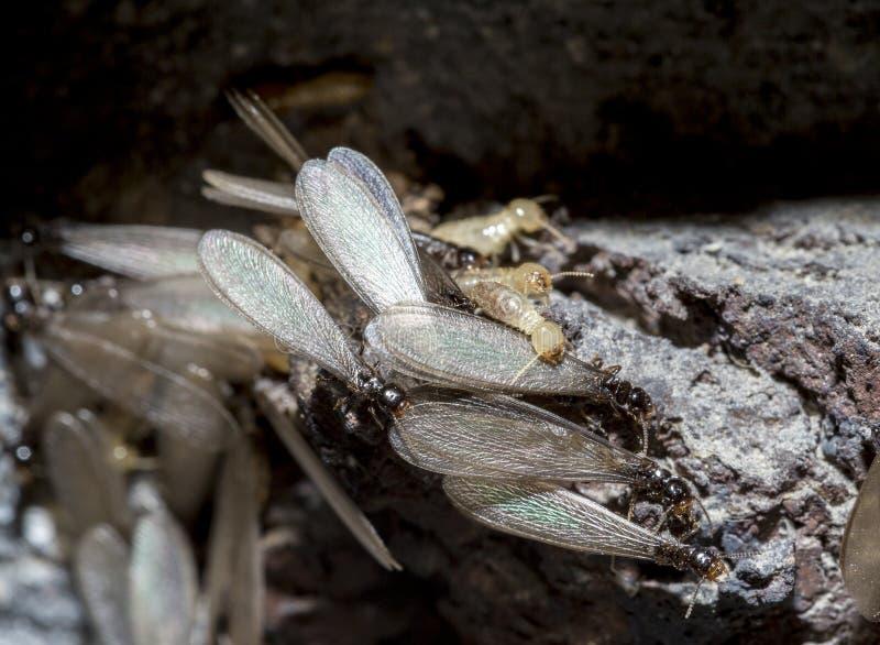 Termites souterrains orientaux, termites à ailes, flavipes de Reticulitermes images stock