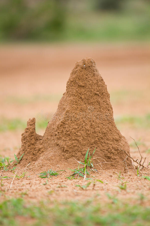 Termithus royaltyfria bilder