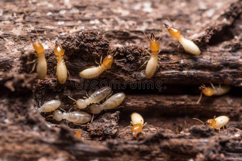 termity lub białe mrówki fotografia royalty free