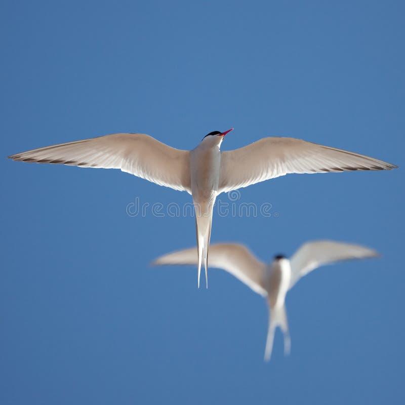 tern полета стоковые фото