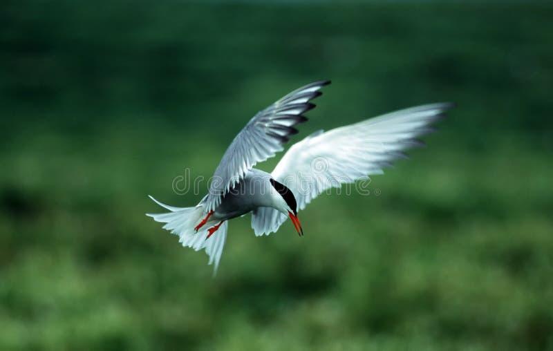 Tern royalty free stock image