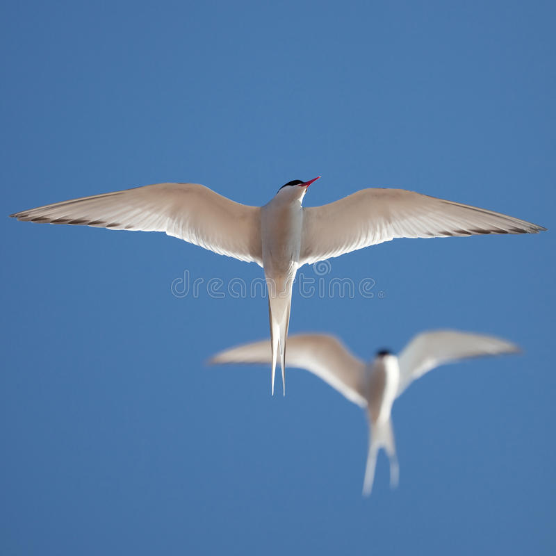 Tern in flight stock photos