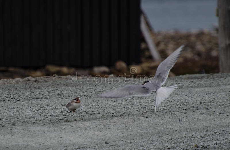 Tern and its chick, Longyearbyen Svalbard. Tern`s feeding its chick, young bird. Longyearbyen Svalbard. August 2017 royalty free stock image